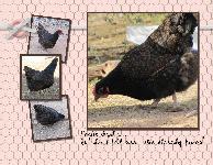 Chicken Calendar 8 x 11-020_thumb
