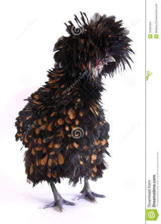 Polish-frizzle-chicken-12585494