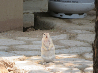 ground squirrel https://www.stampingwithdi.com/2020/09/tales-from-the-yard.html