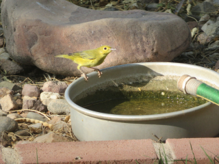 yellow bird https://www.stampingwithdi.com/2020/10/tales-from-the-yard-part-two-the-watering-hole.html