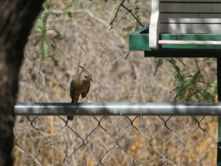 female cardinal on fence https://www.stampingwithdi.com/2020/10/tales-from-the-yard-part-two-the-watering-hole.html