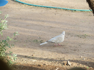 White dove https://www.stampingwithdi.com/2021/03/tales-from-the-yard-part-4-exciting-spring.html