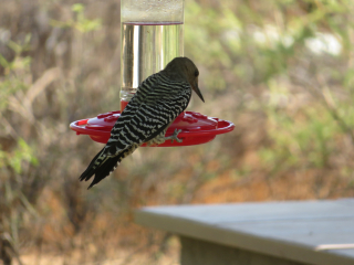 woodpecker https://www.stampingwithdi.com/2020/10/tales-from-the-yard-part-two-the-watering-hole.html