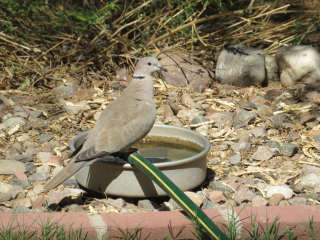 dove https://www.stampingwithdi.com/2020/10/tales-from-the-yard-part-two-the-watering-hole.html