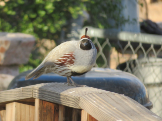 Quail on bridge https://www.stampingwithdi.com/2021/03/tales-from-the-yard-part-4-exciting-spring.html