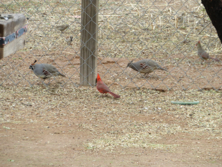 Quail couple and cardinal couple https://www.stampingwithdi.com/2021/03/tales-from-the-yard-part-4-exciting-spring.html