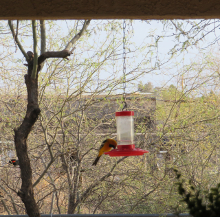Oriole https://www.stampingwithdi.com/2021/03/tales-from-the-yard-part-4-exciting-spring.html
