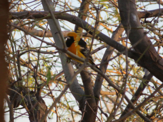 Oriole in tree https://www.stampingwithdi.com/2021/03/tales-from-the-yard-part-4-exciting-spring.html