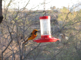 Oriole at feeder again https://www.stampingwithdi.com/2021/03/tales-from-the-yard-part-4-exciting-spring.html